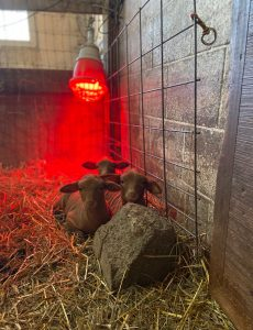During this time of COVID-19 and social distancing, we can learn a lot from the Tunis sheep who are not taxed with worry of what could happen, but more so focused on what they need to do for their young.